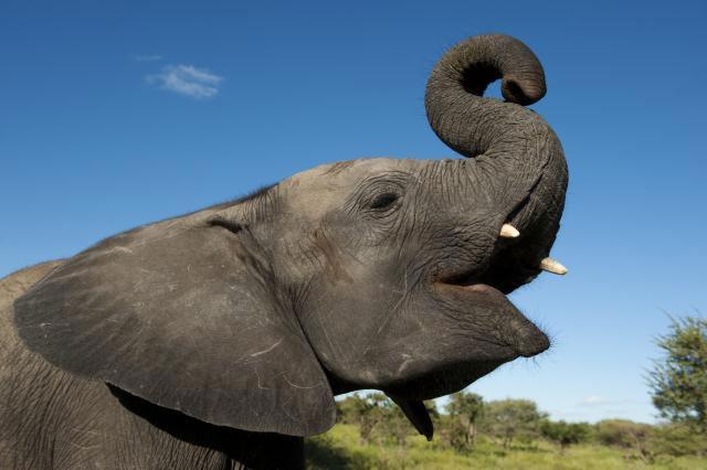 Voi Châu Phi có bộ não lớn nhất trong các loài động vật có vú và cũng có thời gian ngáp lâu thứ hai sau con người.