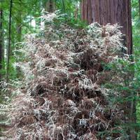 Cây ma bí ẩn không cần quang hợp trong rừng Mỹ