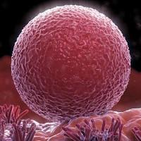 Phụ nữ có thể sản sinh trứng liên tục trong cả cuộc đời