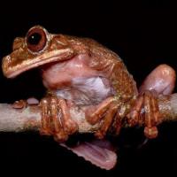 Tìm hiểu về loài ếch Rabbs vừa mới tuyệt chủng