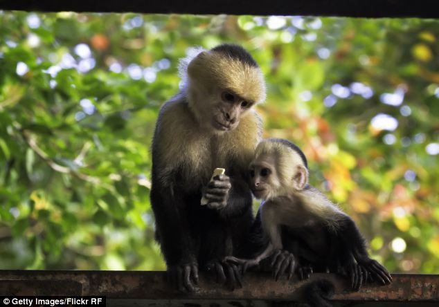 Những con khỉ Capuchin.