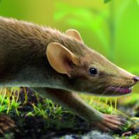 Hóa thạch 125 triệu năm còn nguyên da, lông của chuột tiền sử