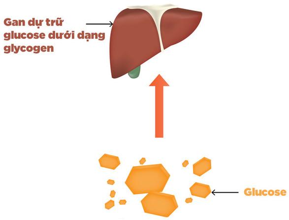 Cơ thể có thể lưu trữ khoảng 2.000 Calo glucose trong gan và cơ xương.