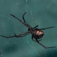 Phát hiện loại virus kỳ lạ mang gene của nhện độc góa phụ đen