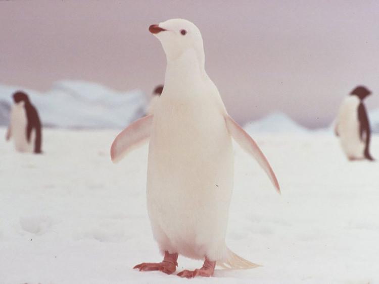 Chim cánh cụt.