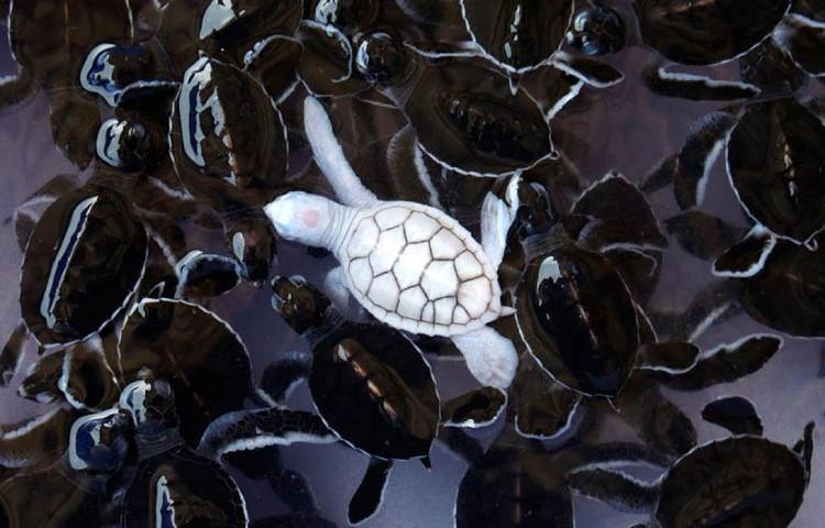 Chú rùa trắng hoàn toàn nổi bật trong đàn.