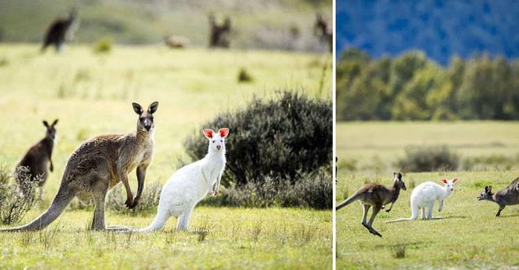 Kangaroo bạch tạng bên cạnh các bạn của mình.