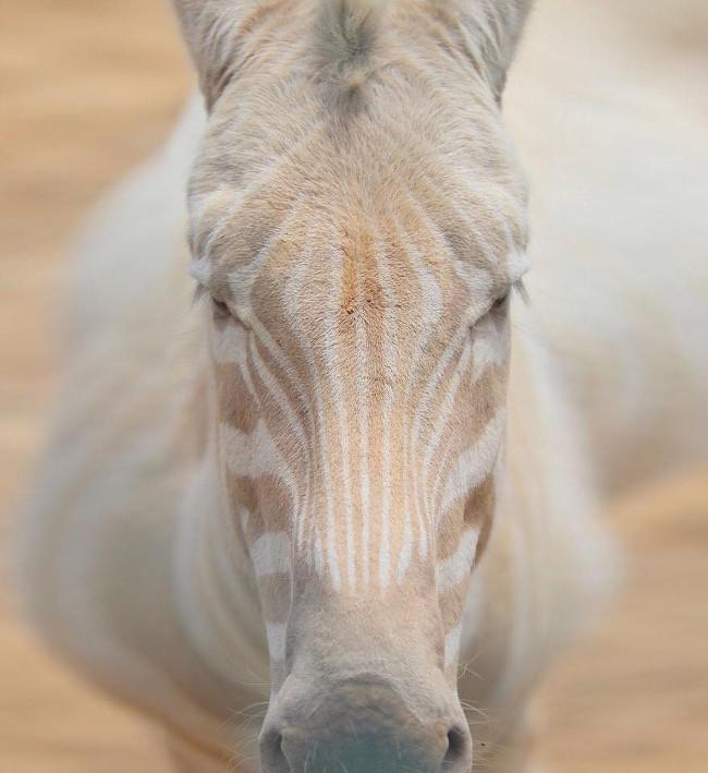 Bị mắc bệnh bạch tạng khiến ngoại hình của chú ngựa vằn thật độc đáo.