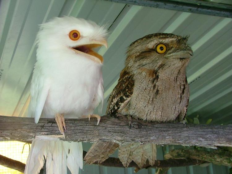 Một chú chim cú thuộc loài frogmouth bị bạch tạng bên cạnh một chú chim bình thường.