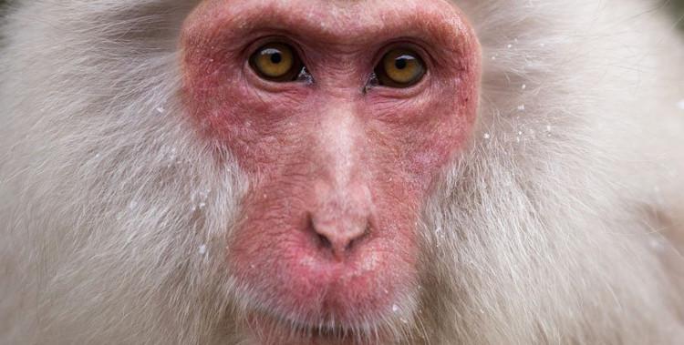 Những con khỉ mắc bệnh tim giờ đã khỏe mạnh trở lại.