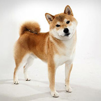5 giống chó hiền lành thích hợp nuôi để làm bạn, đi dạo không cần rọ mõm