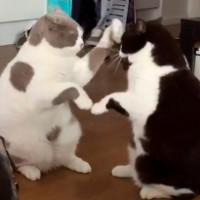 Video: Xem mèo chơi trò vỗ tay theo nhịp
