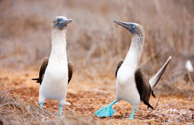 Chim booby chân xanh