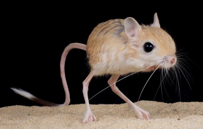 Chuột nhảy