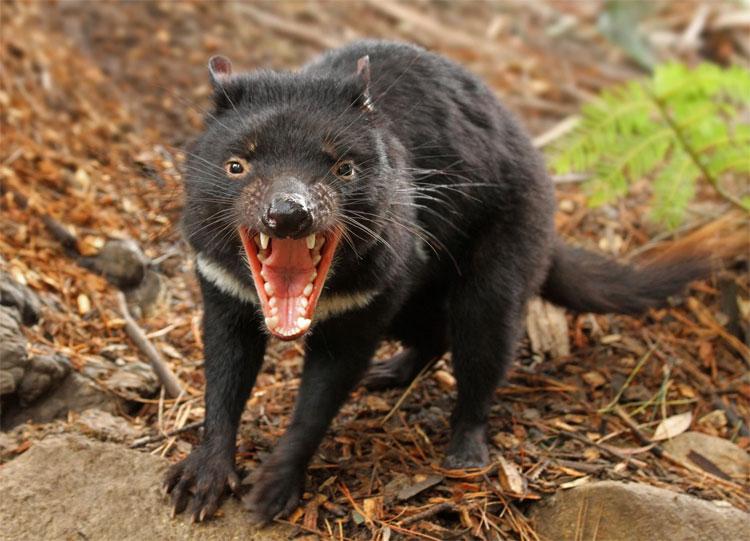 Quỷ Tasmania – loài thú ăn thịt có túi lớn nhất thế giới.