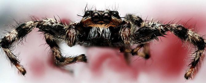 Loài nhện không chỉ có thể nhận biết rung động mà chúng còn có thể cảm nhận được chính xác âm thanh đó.