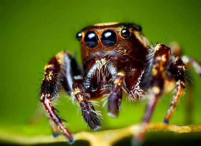 Loài nhện không có màng nhĩ