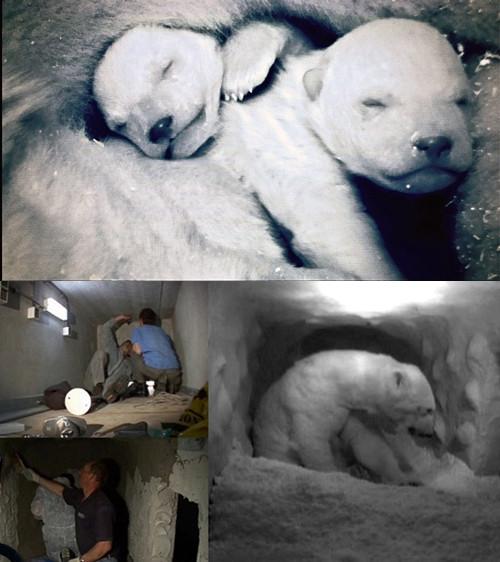 Gấu Bắc Cực trong... vườn thú.