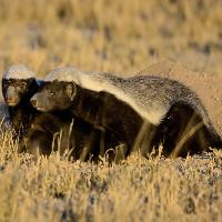 Video: Loài vật liều lĩnh nhất hành tinh