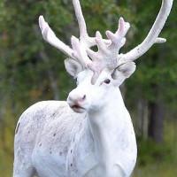 Tuần lộc trắng cực hiếm bất ngờ xuất hiện ở Thụy Điển