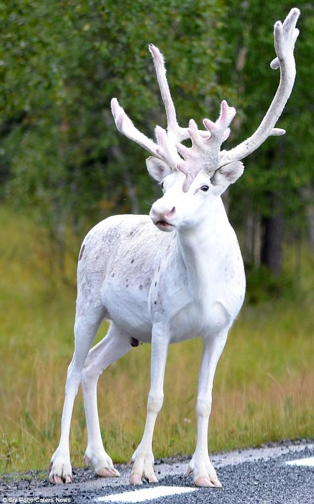 Chú tuần lộc trắng quý hiếm ở Thụy Điển.