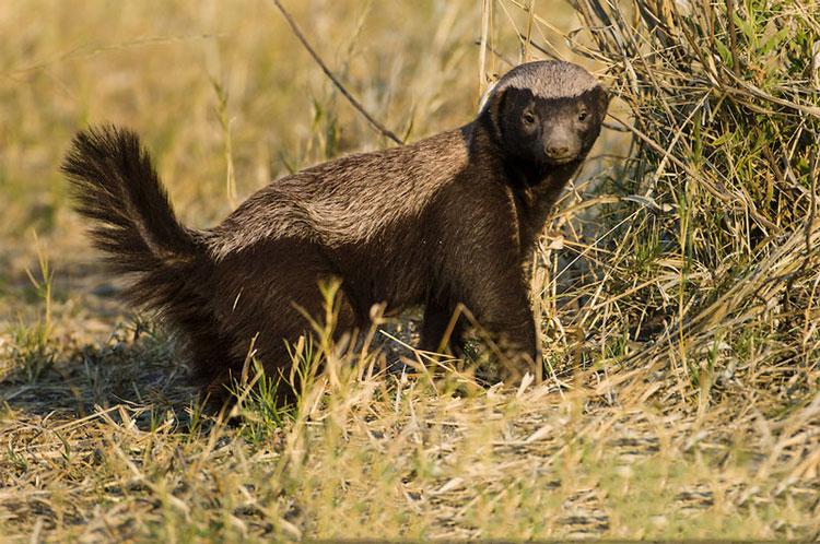 Nó là động vật ăn thịt ít bị săn bắt trong tự nhiên do có lớp da dày có khả năng phòng bị khá dữ dội.
