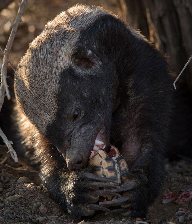 Sở hữu hàm răng sắc nhọn cùng móc vuốt dài, không khó để lửng mật có thể cạy lớp vỏ dày của chú rùa nhỏ xấu số.