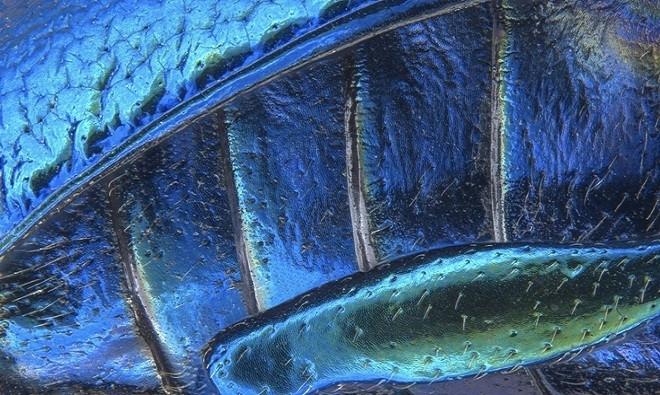 Bức ảnh chân sau của bọ lá vai rộng (phóng đại 40 lần)