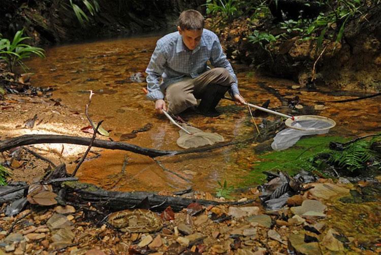 Do phóng sinh bừa bãi nên cá bảy màu hiện nay rất phổ biến trong tự nhiên.