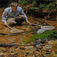 Cá bảy màu có thể phá hủy môi trường sinh thái tự nhiên