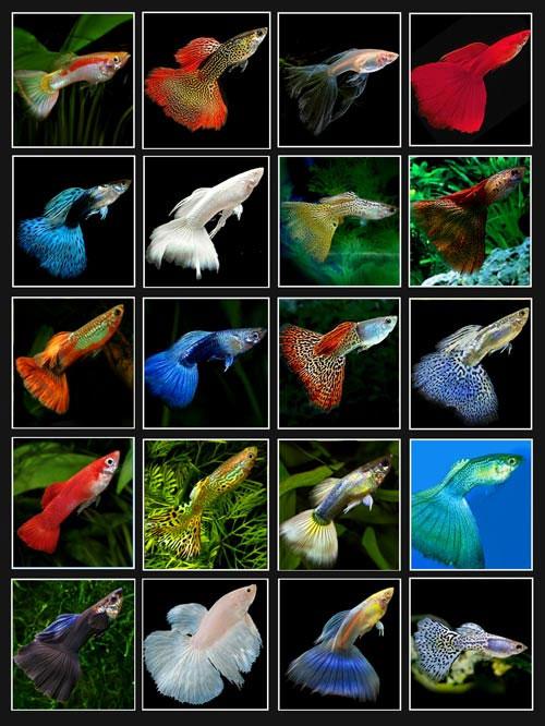 Cá bảy màu có nguồn gốc từ châu Mỹ.