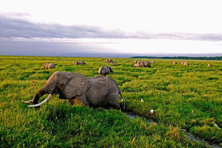 Voi châu Phi tại Tanzania đã bị suy giảm cực kỳ nghiêm trọng về số lượng do nạn săn bắt.