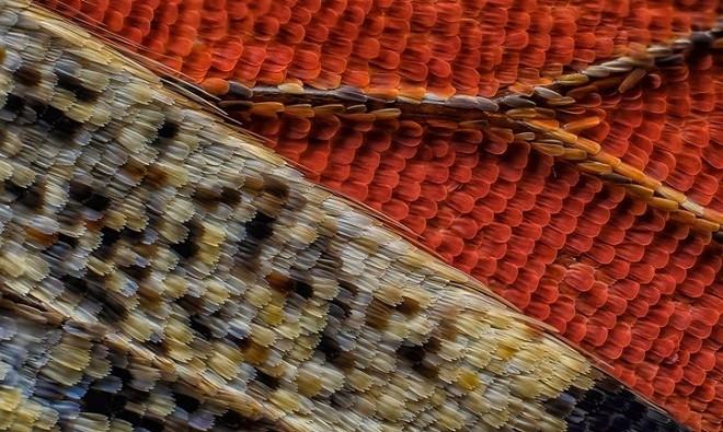 Mặt dưới của một con bướm với độ phóng đại 10 lần.