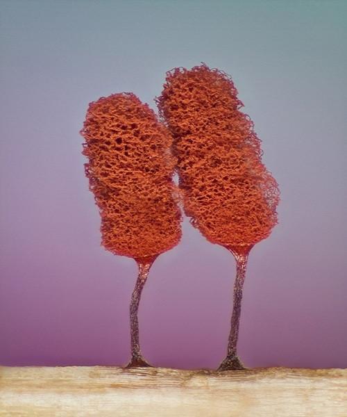 Hai quả thể của mốc nhầy (slime mold) đang phát triển trên cánh đồng (phóng đại 5 lần).