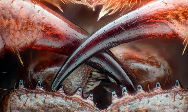 Bức ảnh răng nanh rết chứa chất độc của Walter Piorkowski