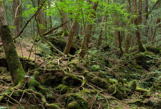 Khu rừng Aokigahara, Nhật Bản
