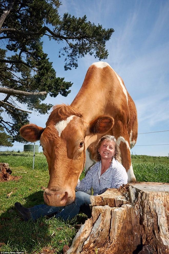 Big Moo được coi là chú bò lớn nhất Australia và thậm chí là lớn nhất thế giới (chưa được xác nhận).