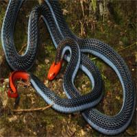 Tác dụng không ngờ của nọc độc loài rắn siêu sát thủ