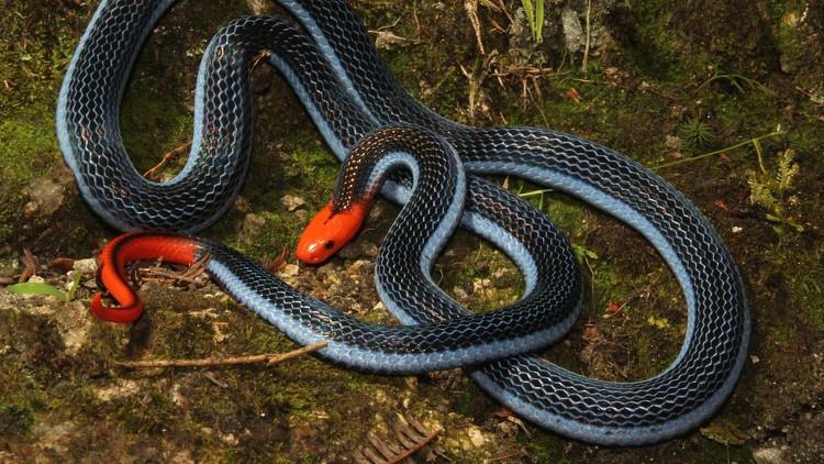 Tuyến nọc độc của rắn san hô xanh kéo dài một phần tư thân.