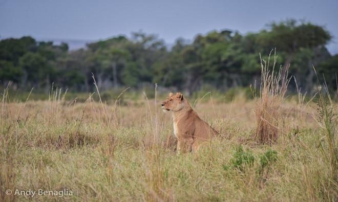 Sư tử cái bị bạn tình bỏ rơi đột ngột ngồi im một chỗ với vẻ bối rối.