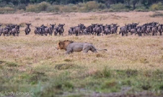 Trong lúc đó, sư tử đực lặng lẽ áp sát con linh dương đầu bò đang lơ là cảnh giác và đứng ở xa đàn.