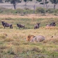 Sư tử đực bỏ rơi bạn tình để săn linh dương
