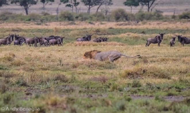 Sư tử đực quyết tâm không để vuột mất con mồi. Nó di chuyển một cách thận trọng và nhẹ nhàng.