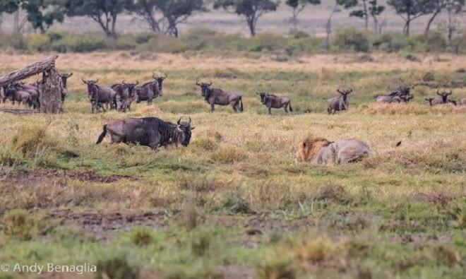 Khi tới khoảng cách thích hợp, sư tử đực co người lấy đà chuẩn bị tấn công.