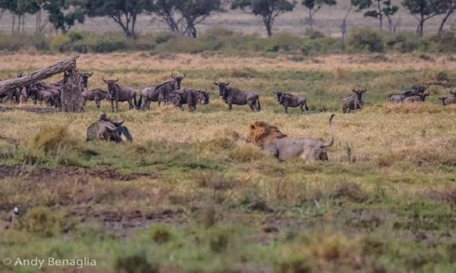 Nhận ra sự hiện diện của sư tử, linh dương đầu bò giật mình hoảng sợ và lập tức quay đầu bỏ chạy.