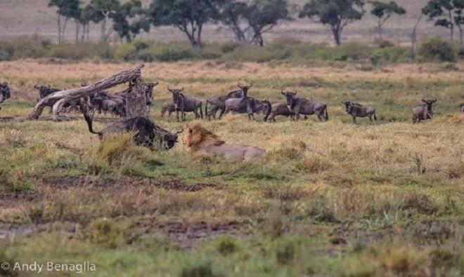 Biết không thể chạy thoát, linh dương đầu bò quay người lại quyết tử chiến cùng kẻ thù.