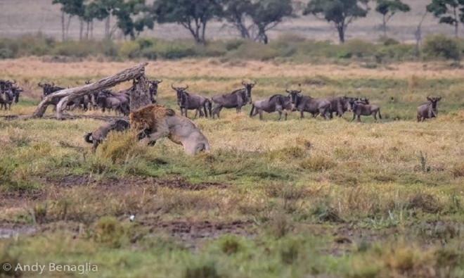 Do thiếu kinh nghiệm, linh dương đầu bò nhanh chóng bị khuất phục và trở thành bữa ăn cho sư tử đực.
