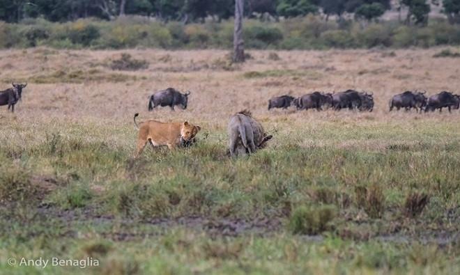 au khi hạ gục linh dương đầu bò, sư tử đực chia sẻ bữa ăn với sư tử cái.