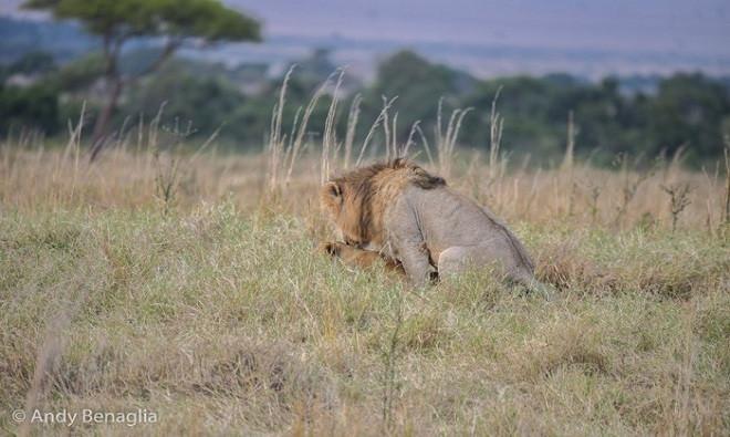Nhiếp ảnh gia động vật hoang dã nghiệp dư Andrea Benaglia ghi lại được cảnh tượng sư tử đực bất ngờ bỏ rơi sư tử cái trong lúc giao phối để săn linh dương đầu bò