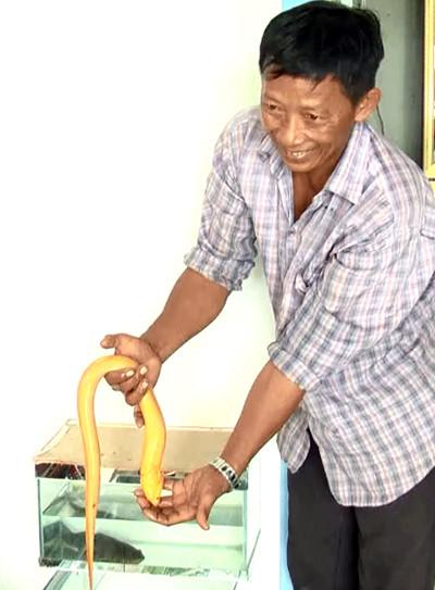 Ông Chi nói rằng có người trả giá 80 triệu đồng để mua lươn vàng.